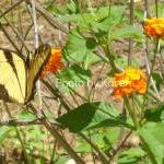 Tiger Swallowtail, Orange F..