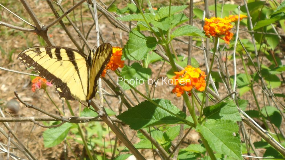 Tiger Swallowtail, Orange Flower, Original Photograph, other sizes available